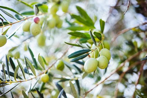 Wall Murals Olives harvest