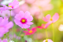 Pink Cosmos Flower In Cosmos F...