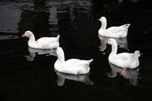 Four White Ducks Swimming In A...