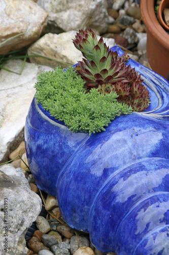 Blaue Keramik-Schnecke mit Sukkulenten im Garten – kaufen Sie dieses ...
