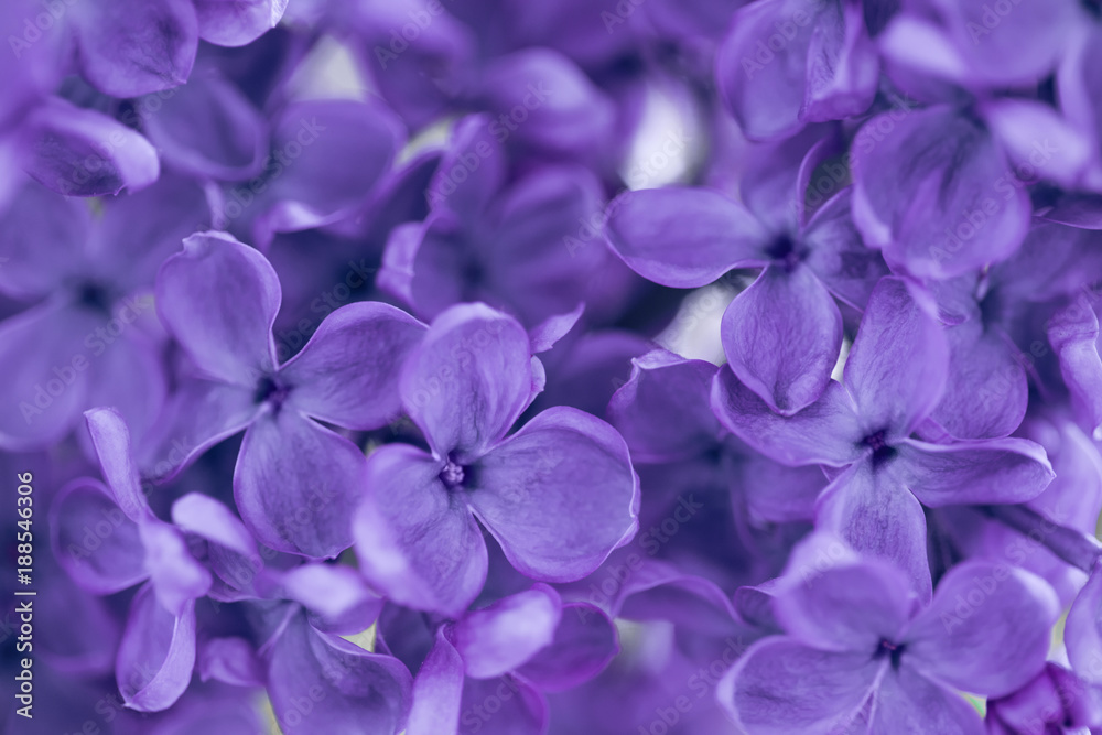 Fototapety, obrazy: blooming lilac ultra violet color closeup