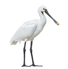 Eurasian Spoonbill Isolated On White Background Full Length. The Eurasian Spoonbill Or Common Spoonbill Is A Wading Bird Of The Ibis And Spoonbill Family Threskiornithidae