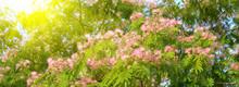 Acacia Mimosa Rosa