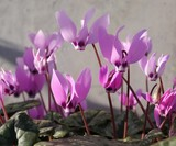 Fototapeta Flowers - Purple Cyclamen Spring Flower