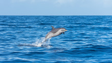 Pan Tropical Spotted Dolphin, ...