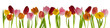 canvas print picture - beautiful fresh tulips in a row isolated on white can be used as background