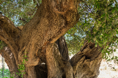 trunk of a large secular olive tree in Italy, Marche.