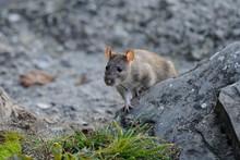 Gray Rat The Carrier Of Diseas...