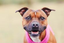 Staffordshire Bull Terrier Portrait