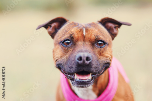 Canvas Print Staffordshire bull terrier portrait