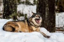 Grey Wolf, Canis Lupus, Lying ...