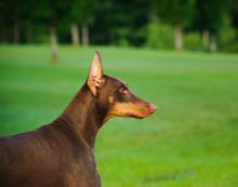 Doberman Pinscher Dog Outdoor ...