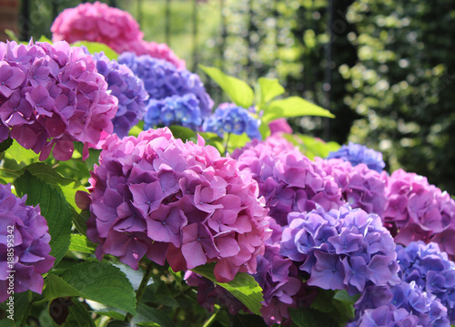 Aluminium Prints Hydrangea Beautiful blue and pink Hydrangea macrophylla flower heads in the evening sunlight.