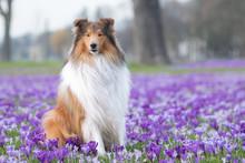 Krokusse Am Rhein Mit Hund
