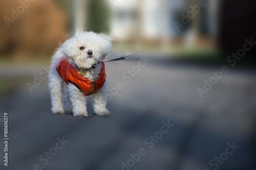 Fotografia, Obraz Cute small white bichon dog playing in the park. Slovakia