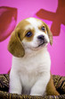 Beaglier Puppy Standing up in a Wicker Basket in Front of a Lip and XO Valentine's Day Print Background
