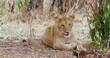 Lion Cub Sneezing