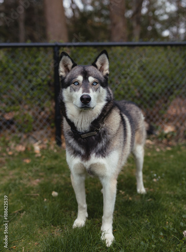 Photo Siberian Husky