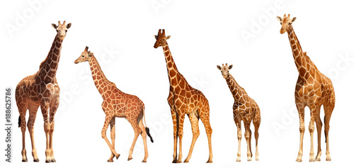 Spoed Fotobehang Giraffe Reticulated Giraffe family, mothers and young, isolated on white background