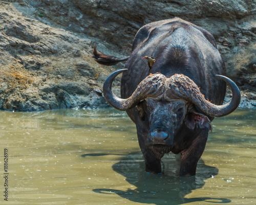 Poster Buffel African buffalo in water hole