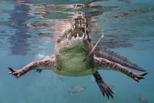 American Saltwater Crocodile In Queen's Gardens, Cuba