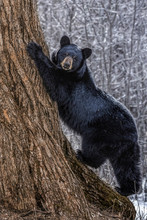 Posing Black Bear