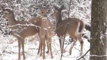 Herd Of White-tailed Deer (Odo...