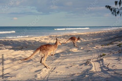 Deurstickers Kangoeroe Kangaroos on the beach