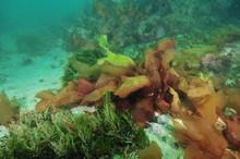 Seaweeds And Kelp Of Various C...