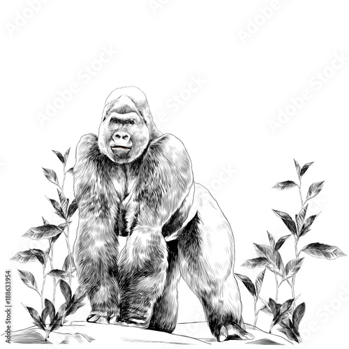 a gorilla stands on all fours on the stone in the grass with leaves sketch vecto Canvas Print