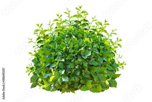 Obraz na plátne green bush isolated on white background.
