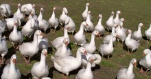 Group Of Gaggling White Geese ...