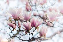 Beautiful Magnolia, Bud In Sel...