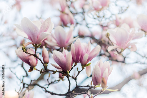 Beautiful magnolia, bud in selective focus on the pink background Beautiful blossoming magnolia on blue sky background. Spring, floral greeting card