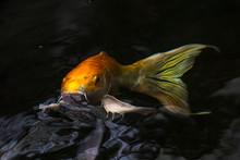 Koi - Ein Fisch In Seinem Elem...