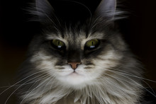 Sinister Portrait Of A Cat, Si...