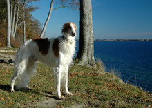 Noble Male Borzoi Stands In A ...