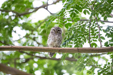 The Spotted Owlet Or Athene Br...