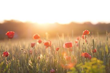 Poppy field on sun set close up