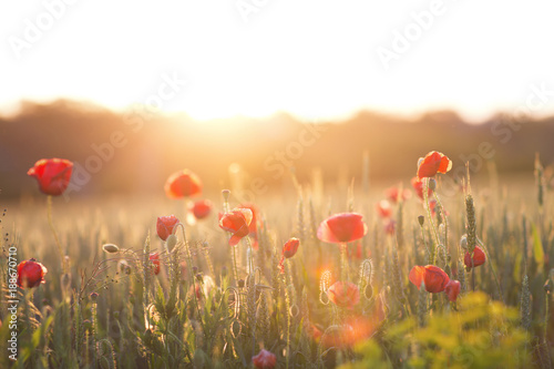 Poppy field on sun set close up