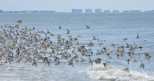Hundreds Of Sanderlng Birds Fly Together Causing A Murmuration Along The Surf On Estero Island Near Fort Myers Beach.