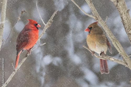 Photo  Cardinals