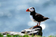 Puffin Sat On Rock At Farne Is...