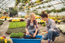 Two Attractive Happy Florist Women Crouching And Preparing Flowers In Flowerpots From One Large Blue Pot In The Greenhouse.