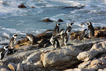 Penguines At The Coast, Cape, South Africa