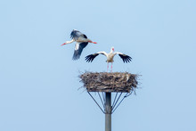 Two Storks Take Possession Of Their Nest - Near Staden, Germany