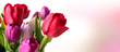 Beautiful colorful tulips on tender pink background
