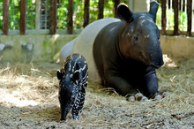 Mother And Baby Tapir