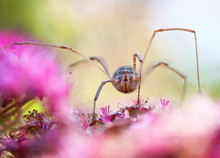 Wide Angle Extreme Perspective Macro Close Up Of A Daddy Long Legs Or Harvestman Spider On Pretty Ping Flowers