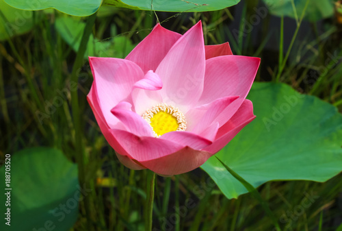 Foto op Canvas Lotusbloem pink Lotus are beautifully for the backpack policy background